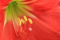 Macro of Day Lily Royalty Free Stock Photo