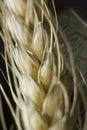 Macro de la planta del trigo Fotografía de archivo