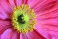 Macro del fiore del papavero di Islanda Fotografie Stock