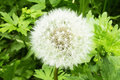 Macro detailed closeup view of dandelion flower in garden on a spring summer day with green leaves and blur background nature