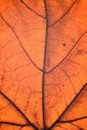 Macro details of autumn maple leaf through sunlight