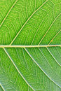 Macro details of green leaf veins in vertical frame Royalty Free Stock Photo