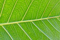 Macro details of green Peepal leaf veins Royalty Free Stock Photo