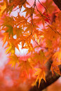 Macro details of Japanese Autumn Maple leaves with blurred background Royalty Free Stock Photo