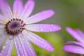 Macro details of purple colored daisy flower surface with water droplets Royalty Free Stock Photo