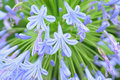 Macro details of White & Blue Lily flowers Royalty Free Stock Photo