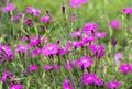 Macro Dianthus deltoides Royalty Free Stock Photo