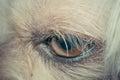 Macro of dog eye Royalty Free Stock Photo