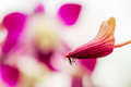 Macro of flower buds pink orchid with a water droplets Royalty Free Stock Photo