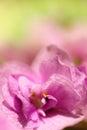 Macro Of A Flower Primrose