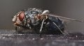 Macro fly shot of black with dark background Stock Photography