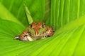 Macro frog Stock Image