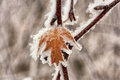 Macro of a frozen leaf an autumn in place by hoar frost Stock Photos