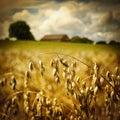 Macro of golden oat ears Royalty Free Stock Photo