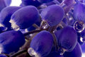 Macro grape hyacinth with water drops purple flower close up Stock Photo