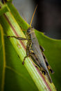 Macro of grass hopper Royalty Free Stock Photo