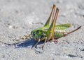 Macro of a grasshopper on the road Royalty Free Stock Image