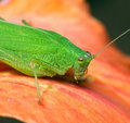 Macro of a green grasshopper Stock Image