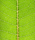 Macro green leaf Royalty Free Stock Photo