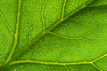 Macro green leaf vein Royalty Free Stock Photos