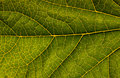 Macro of green leaf with veins highlighted Stock Image