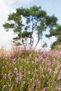 Macro heather flowers of purple in nature Royalty Free Stock Image