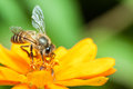 Macro of honey bee eating nectar on yellow flower Royalty Free Stock Photography