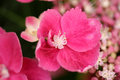 Macro of hortensia pink single flower hydrangea Royalty Free Stock Image