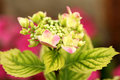 Macro of hortensia single flower hydrangea Royalty Free Stock Photography
