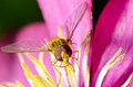 Macro of a hover fly on pink flower Royalty Free Stock Photo