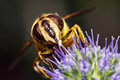 Macro of hoverfly Royalty Free Stock Photo