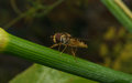 A macro of a Hoverfly on a green stem Royalty Free Stock Photo