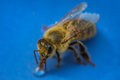 Macro image of a bee on a blue surface drinking a honey drop fro