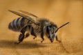 Macro image of a bee from a hive