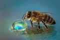 Macro image of a bee on a reflective surface drinking a honey dr