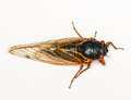 Macro image of cicada from brood ii in in virginia detailed against white background Stock Images