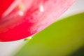 Macro image of a little bug traveling between a tulip and its leaf Royalty Free Stock Photo