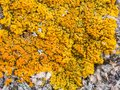 Yellow Lichen on a Rock Royalty Free Stock Photo