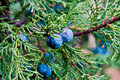 Macro juniper blue as background Royalty Free Stock Photos