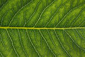 Macro of leaf showing detailed veins Royalty Free Stock Images