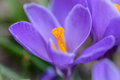 Macro lens closeup of a single purple crocus flower Royalty Free Stock Photo