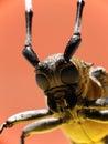 Macro long-horned beetle Stock Photo