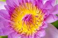 Macro Lotus flower pollens. Royalty Free Stock Photo