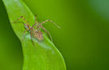 Macro lynx spider on green leaf Royalty Free Stock Photography