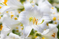 Macro of a Madonna Lily Royalty Free Stock Photo