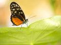 Macro monarch butterfly on green leaf shot of feeding in nature Royalty Free Stock Images