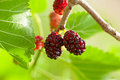 Macro of mulberry close up fruits morus nigra moraceae Stock Images