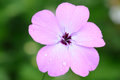 Macro of nice flower (phlox subulata) Stock Photos