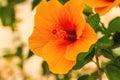 Macro of orange China Rose flower (Chinese hibiscus, Hibiscus ro Royalty Free Stock Photo
