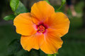 Macro of orange China Rose flower. Hibiscus Royalty Free Stock Photo